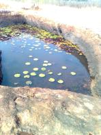 water storage- lotus leaves