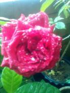from my tarrace garden