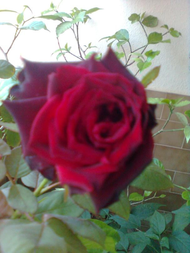 First rose of winter