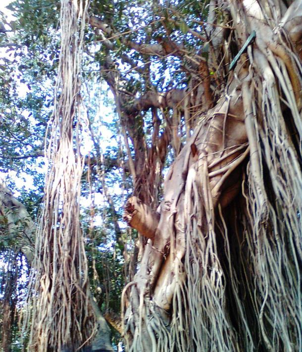 old banian tree